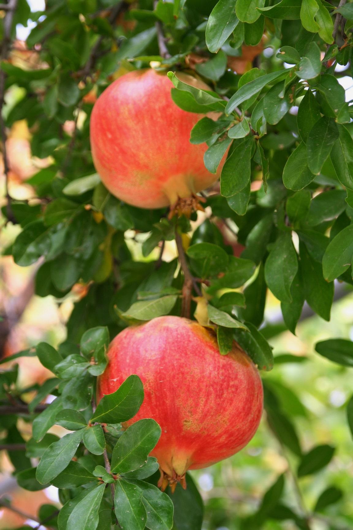 Взгляд притягивают гранатовые деревья, усыпанные крупными плодами