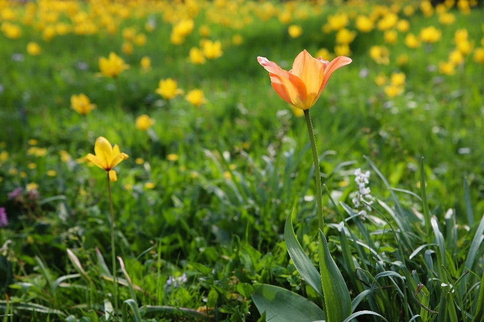 Украшением степи являются дикие тюльпаны