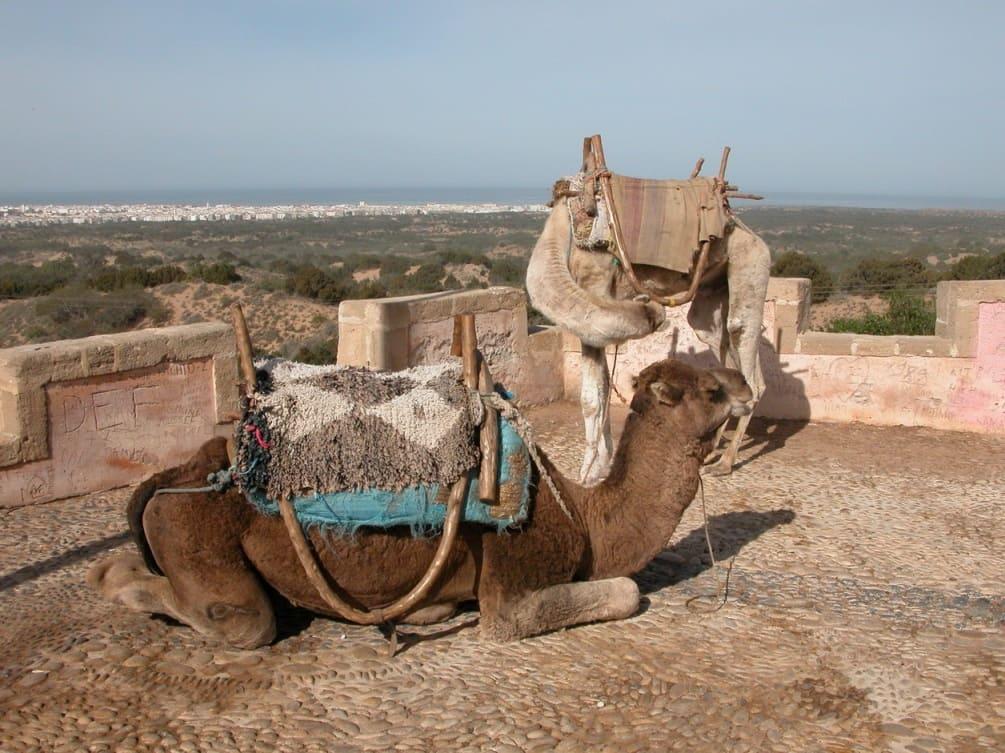В Марокко есть возможность прокатиться на верблюде