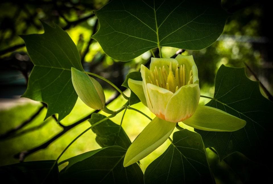 Символом парка Беккера является тюльпанное дерево