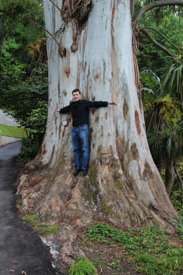 Этот эвкалипт «переехал» в Батуми из Австралии