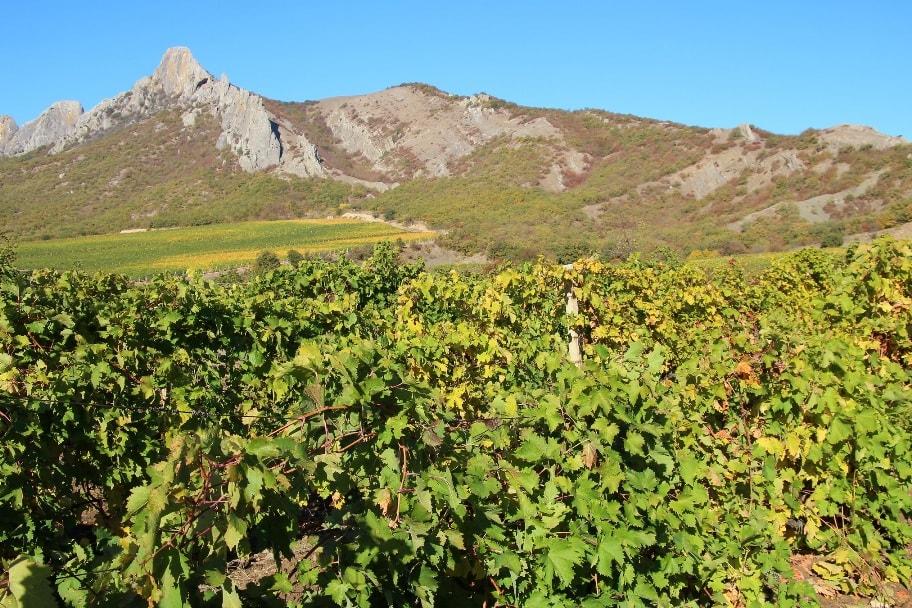 Виноградники в окрестностях Нового света