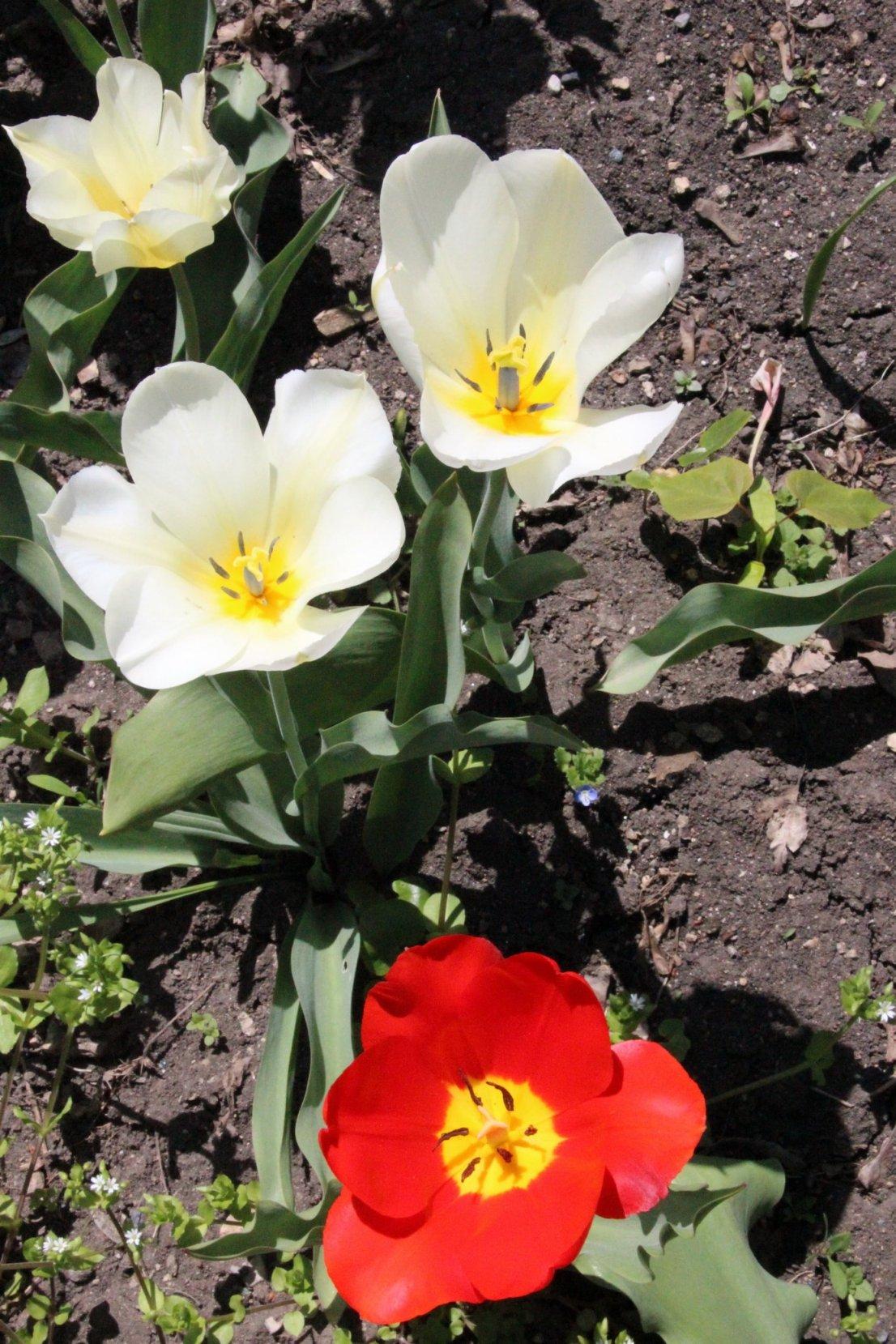 Весной в дендрарии цветут тюльпаны