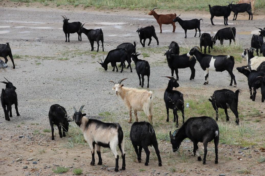 На плоскогорье можно встретить пасущихся коз и овец
