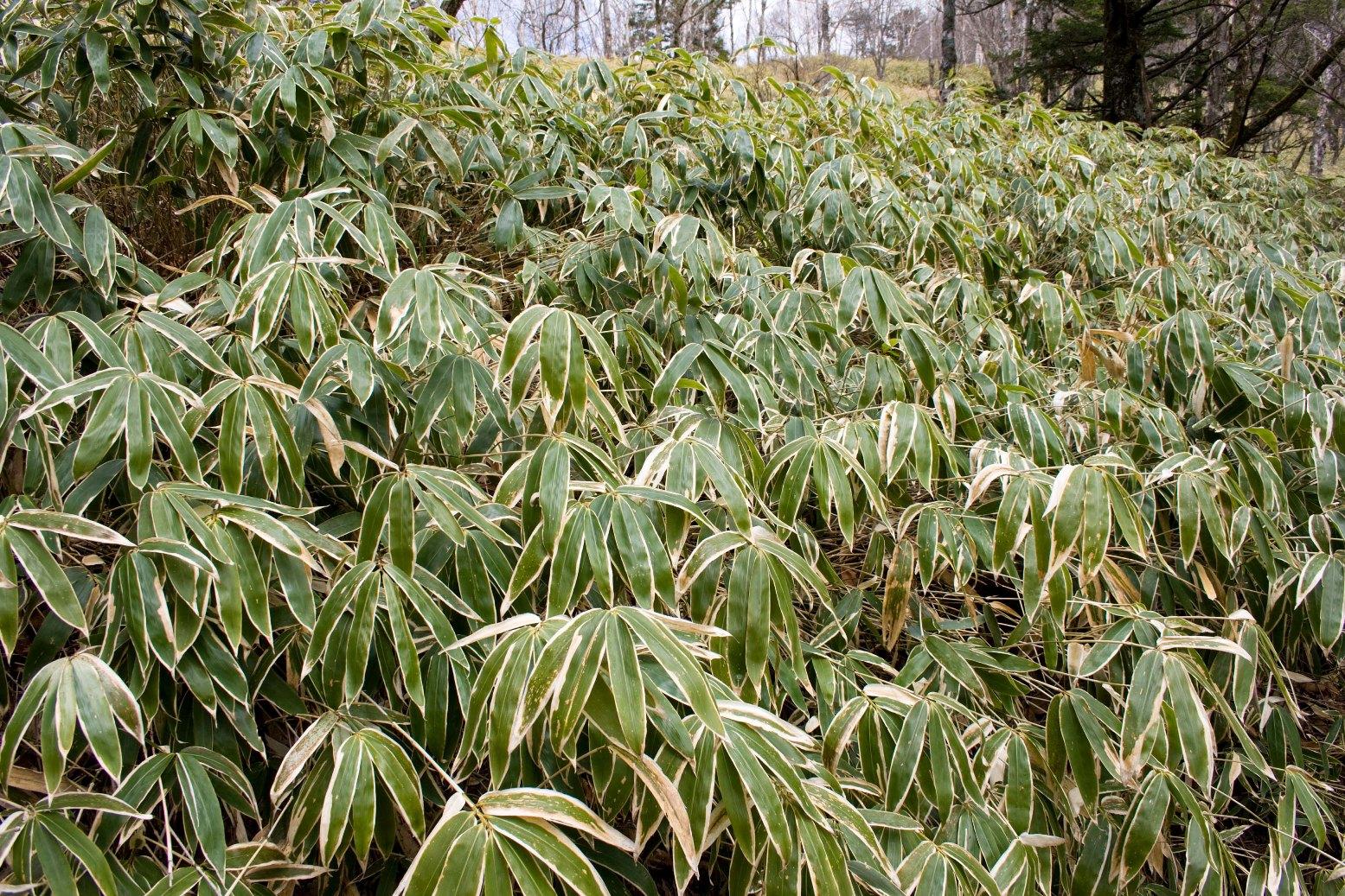 Заросли курильского бамбука