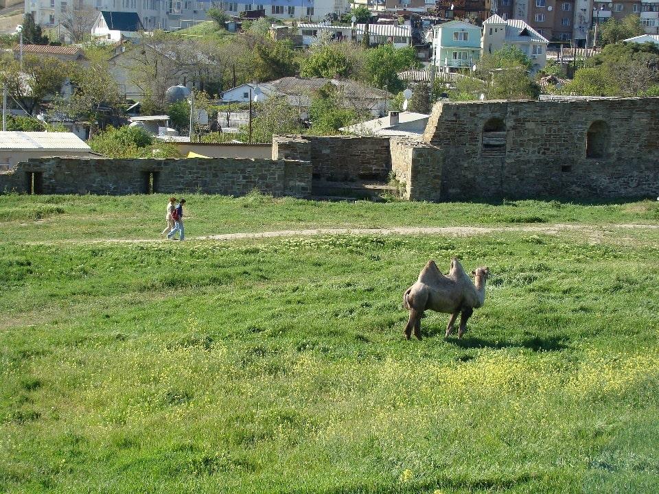 На окраине поселка можно увидеть пасущихся верблюдов