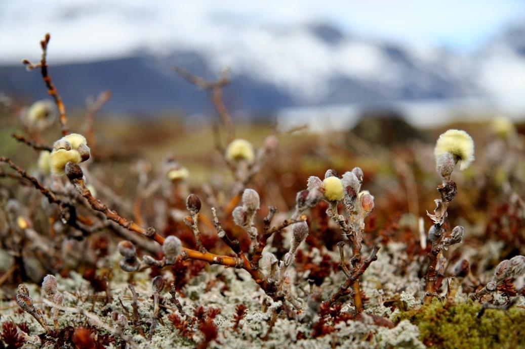 Растительность в Исландии очень скудная