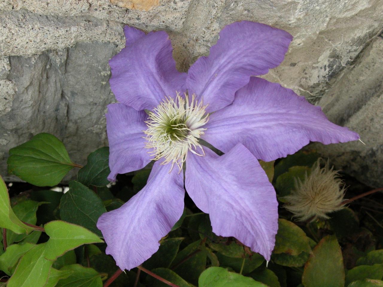 Альпийские цветы отличаются большой выносливостью
