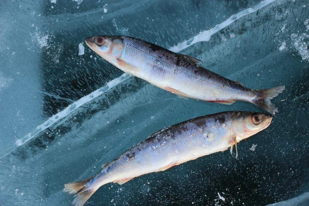 На Ольхоне обязательно стоит купить рыбу
