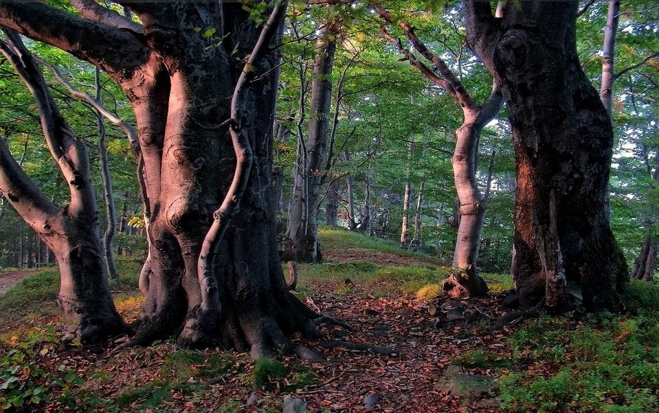 Склоны Чатыр-Дага покрыты буковыми лесами