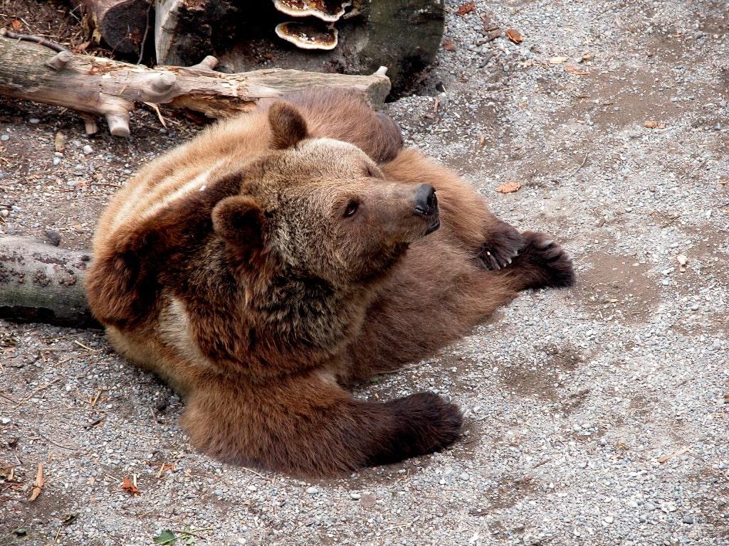 В заповеднике обитает большое количество бурых медведей