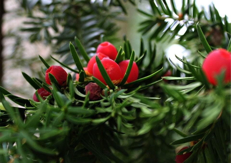 В горах встречается ягодный тис