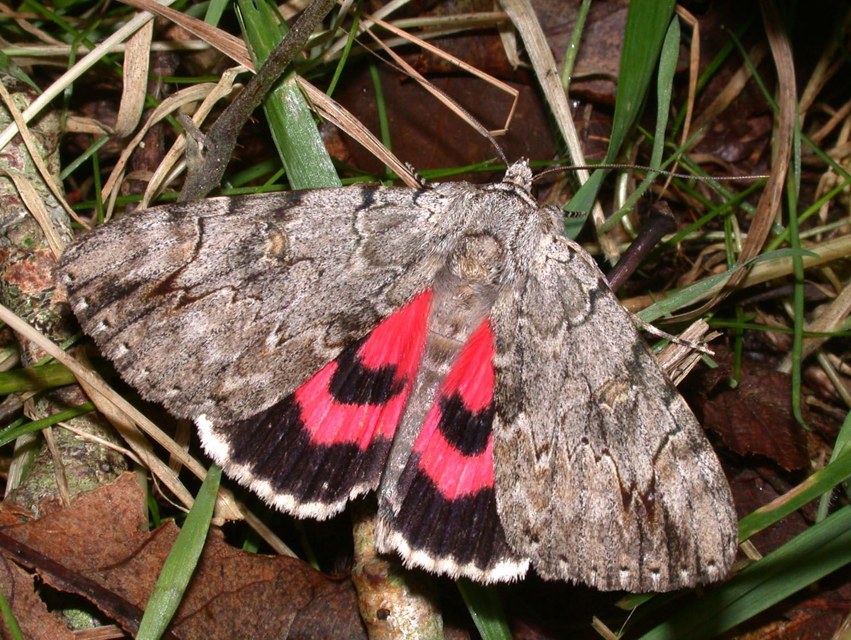 Бабочка «Малиновая орденская лента»