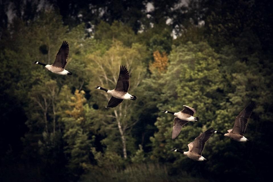 Над Куршской косой проходят маршруты перелетных птиц