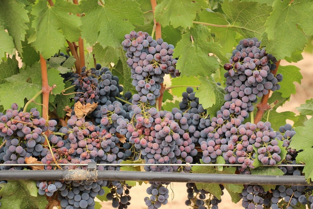 Земля Баден-Вюртемберг славится своими виноградниками
