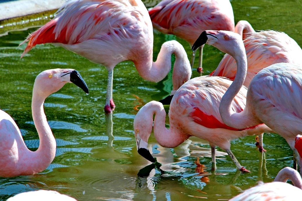 Розовые фламинго обожают креветок