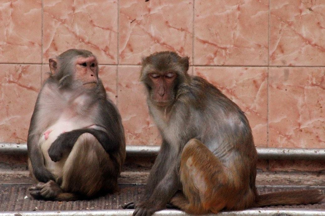 Визитной карточкой Сухума считается обезьяний питомник