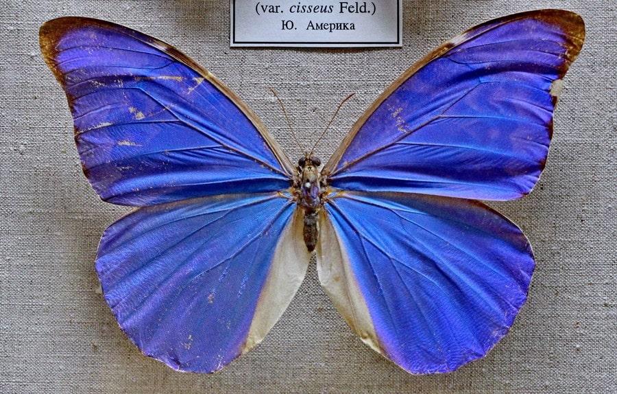 В Зоологическом музее впечатляет обширная коллекция ярких тропических бабочек