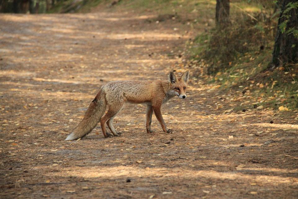 В парке можно повстречать лису