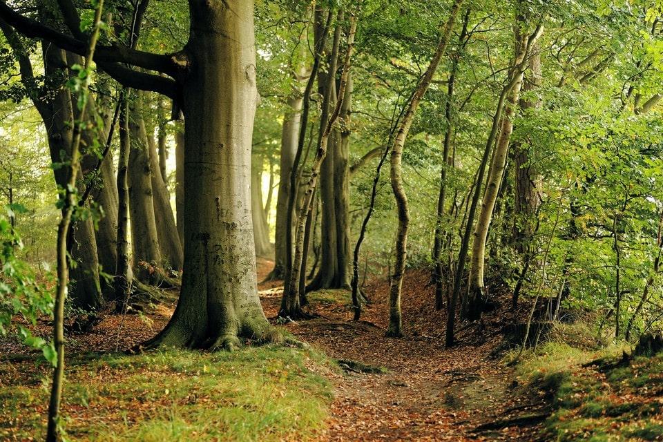 Тропа идет через буковый лес