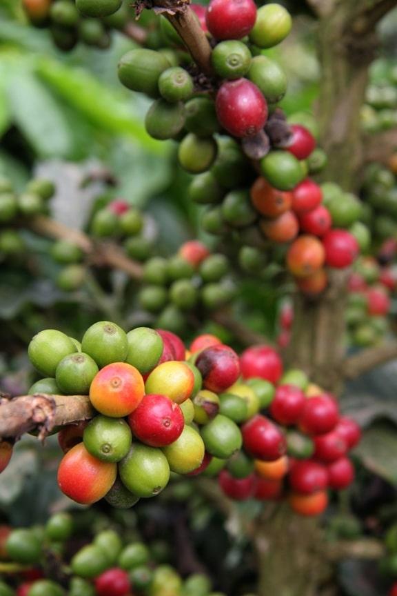 Во Вьетнаме растет кофе