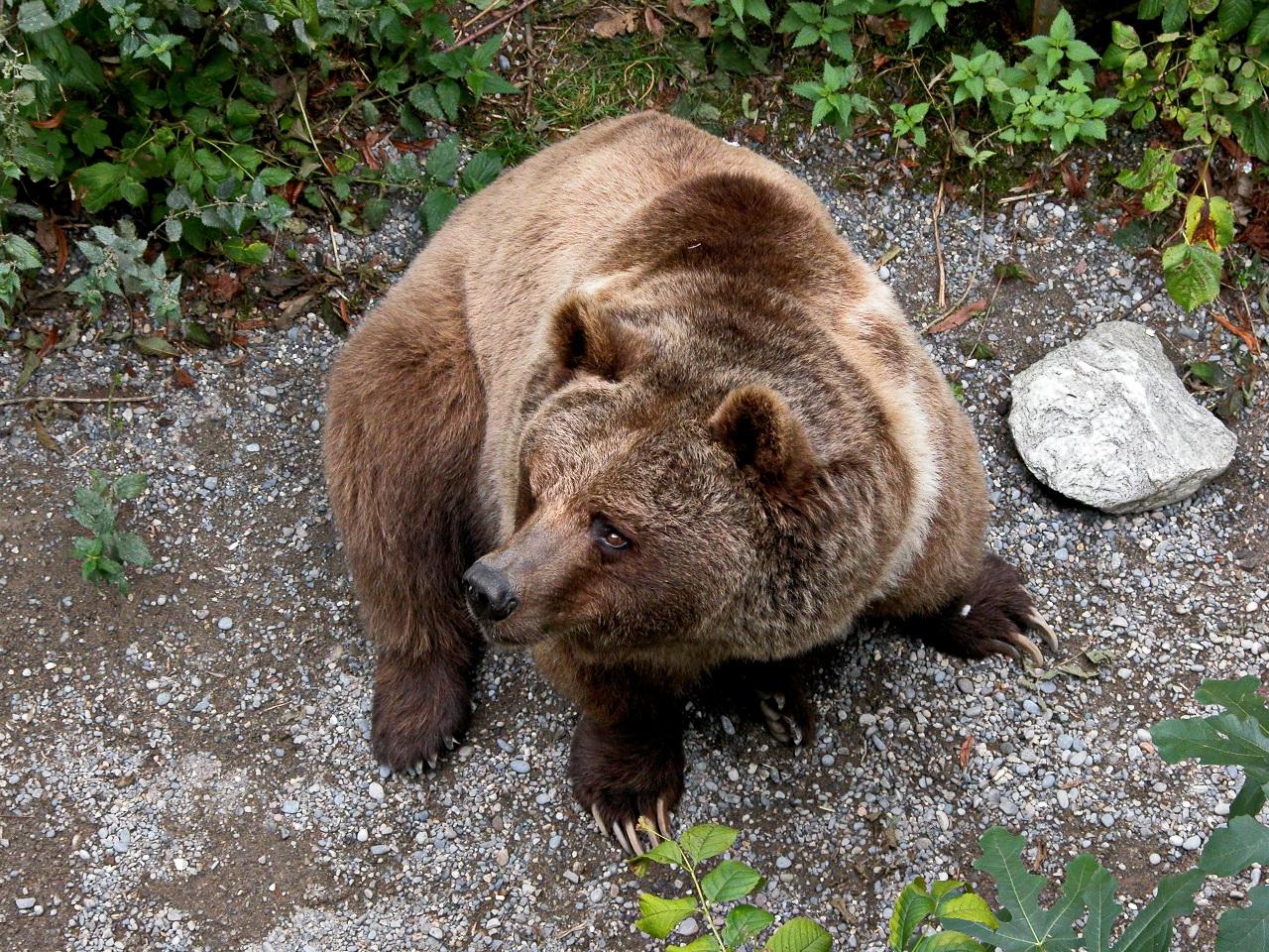 Медведей в Альпах можно увидеть только в швейцарском Берне