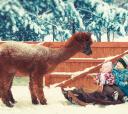 Подмосковье, Пеший поход на ферму к альпакам и ламам
