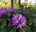 Кавказ, Южное цветочное путешествие: лесные рододендроны Сочи