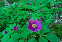 Южное цветочное путешествие: дикие пионы Кавказа