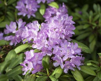 Южное цветочное путешествие: лесные рододендроны Сочи